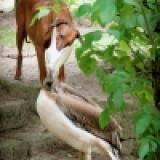 生氣鵜鶘教訓貪吃小狗